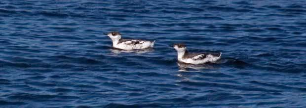 Marbled Murrelet Listed as Endangered Under Oregon's Endangered Species Act: What Does It Mean for Timber Landowners and Operators in Oregon?